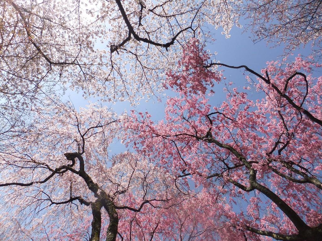 körsbärsblomningen i Japan