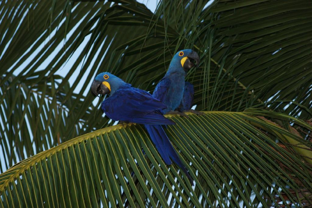 papegojor i Brasilien