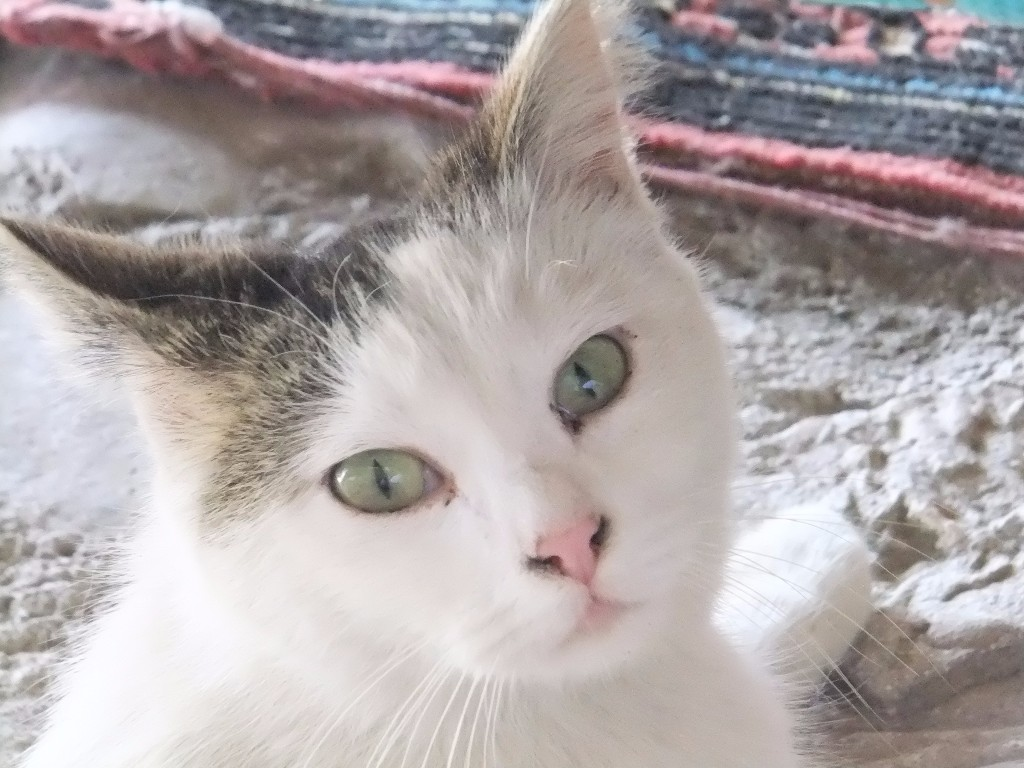 Katt i Ushisar ovanför Love Valley Vandring i Kappadokien