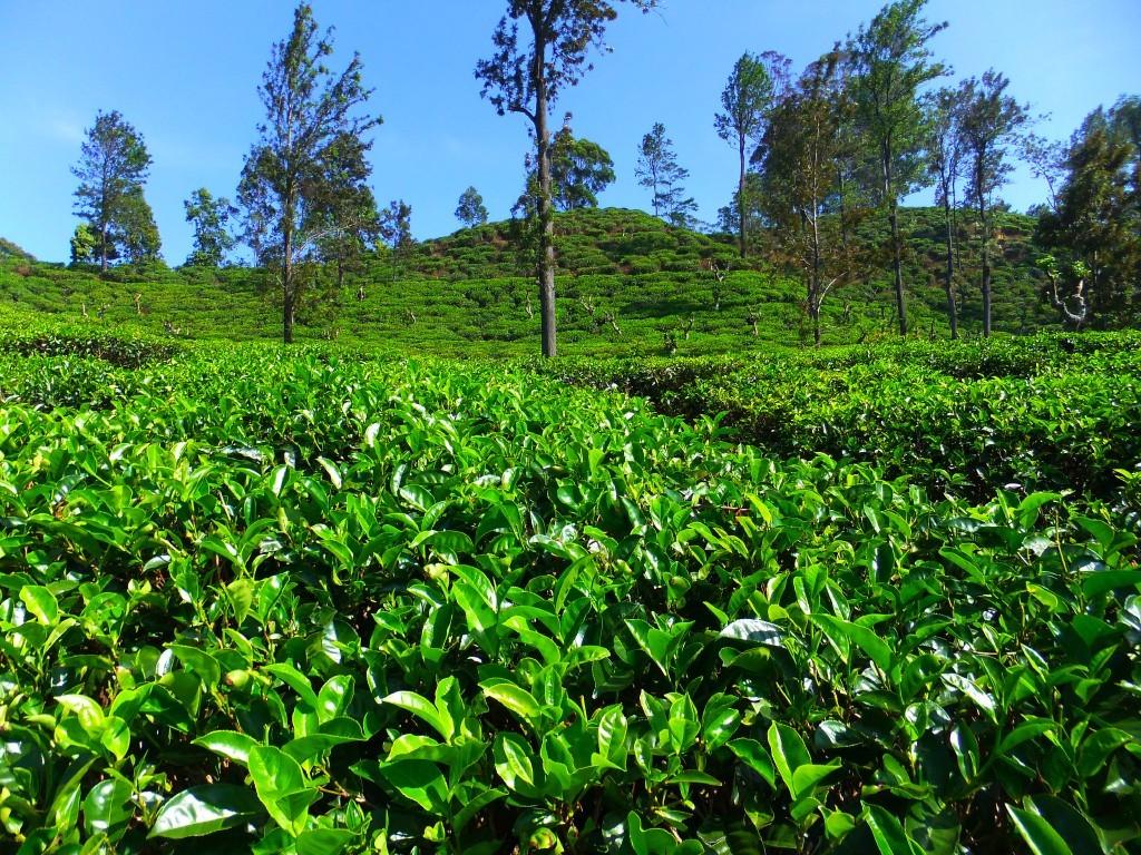 Bästa tiden att åka till Sri Lanka - klimatguide