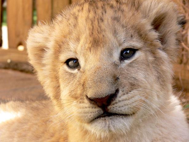 djurscams lejonungar volontär