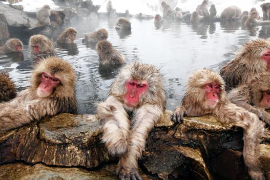 Onsen i Japan monkeys