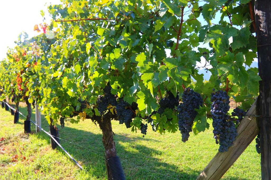 Franschhoek Wine-tram – charmig vinprovning för glada amatörer