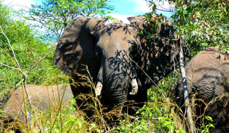 Zimbabwe – elefanterna bara händer