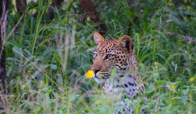 Safari i Afrika – så går det till och därför älskar vi det