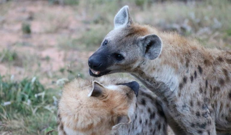 Vår safarifilm från Kruger National Park