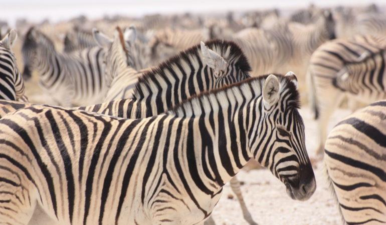 Bästa safarin i Afrika – vad skiljer länder och nationalparker åt och vilket är bäst?