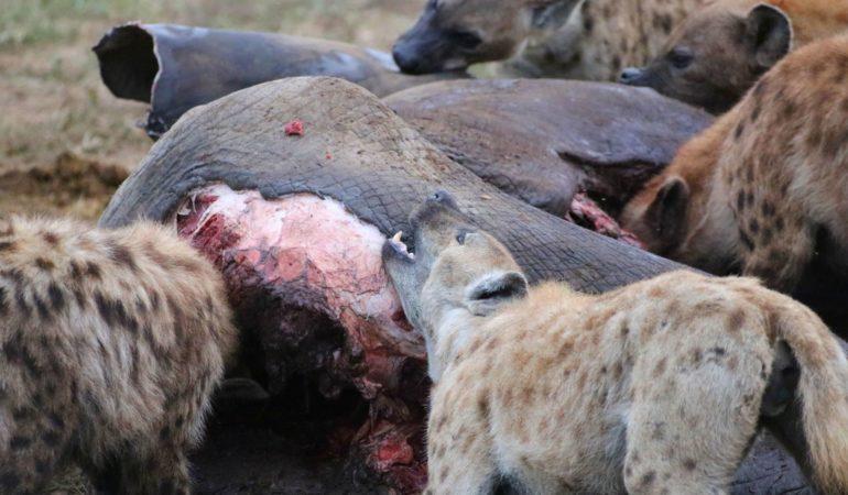 """Kan man njuta av en """"killing""""? – Om safariupplevelser och om en elefants död"""