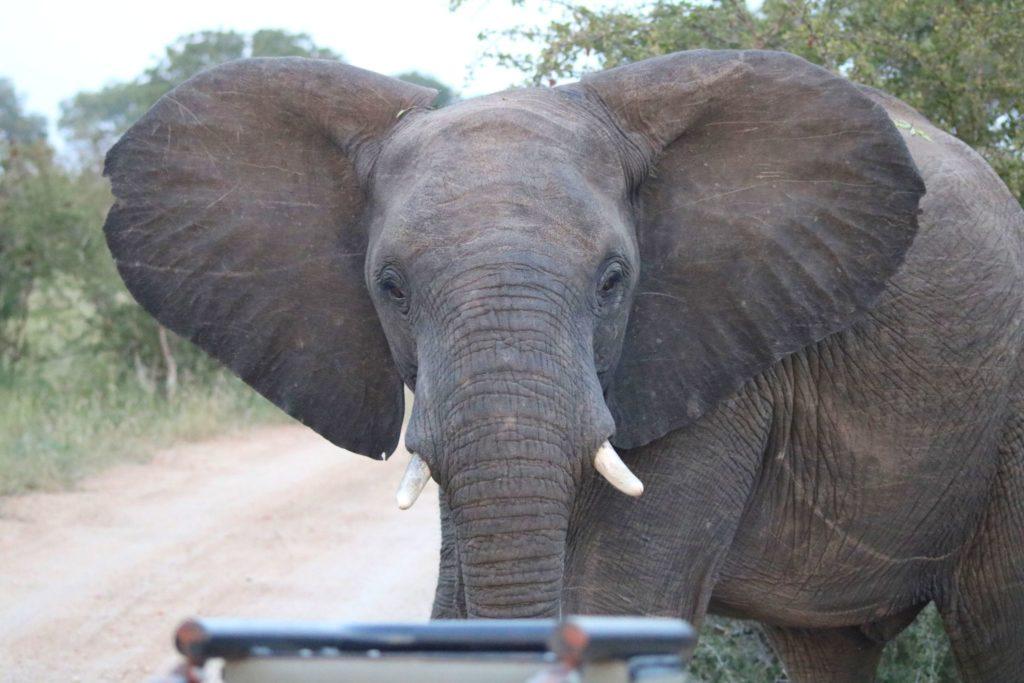 innan du åker på safari i Afrika