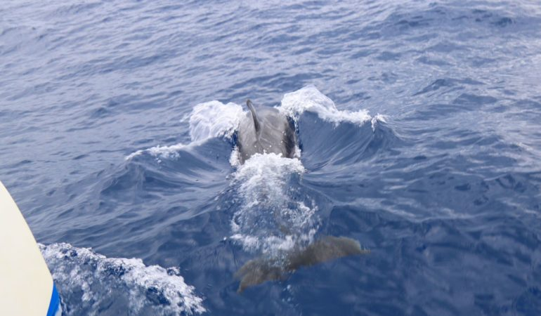 Delfinsafari på Madeira