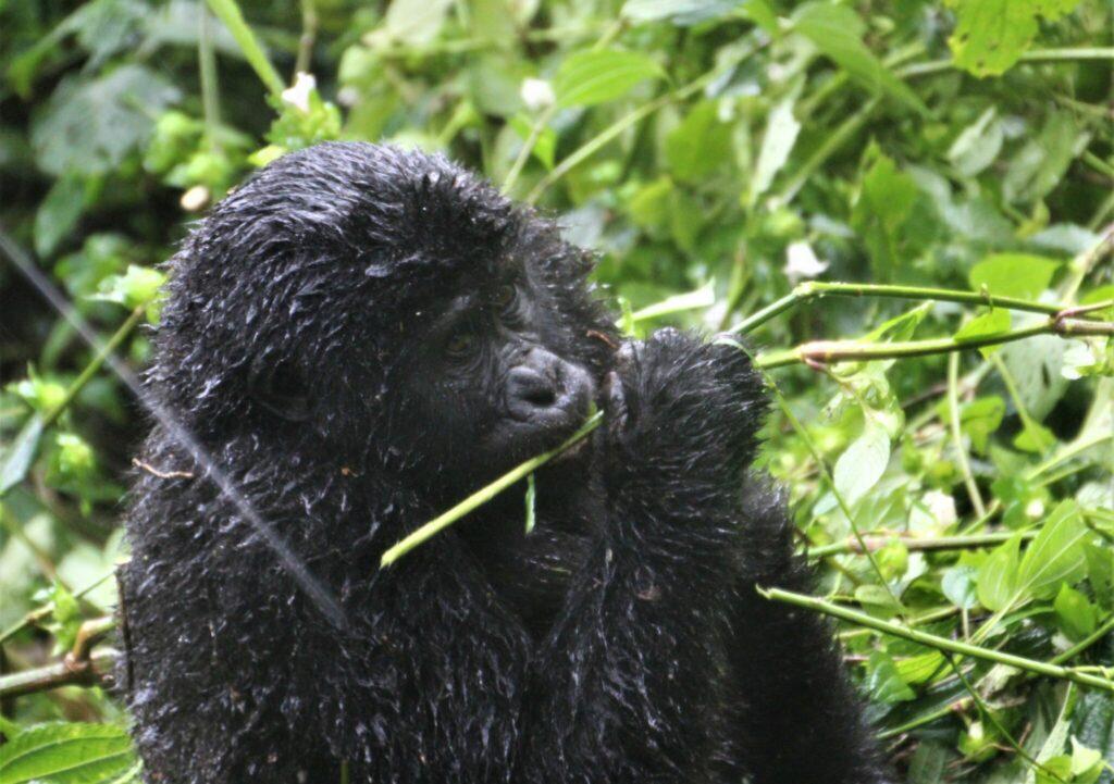 gorillorna i Uganda