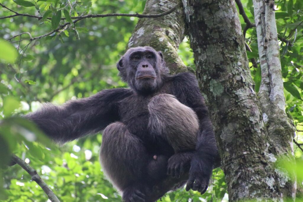 Schimpans-safari i Uganda