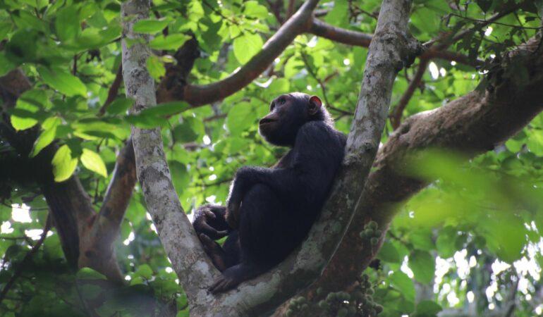 Schimpans-safari i Uganda – en heldag med tjocka släkten