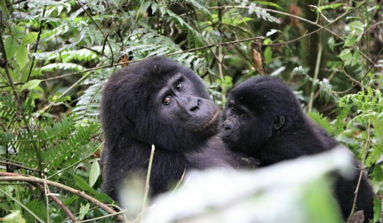 Att besöka gorillorna i Uganda – allt om vårt äventyr och bästa insidertipen
