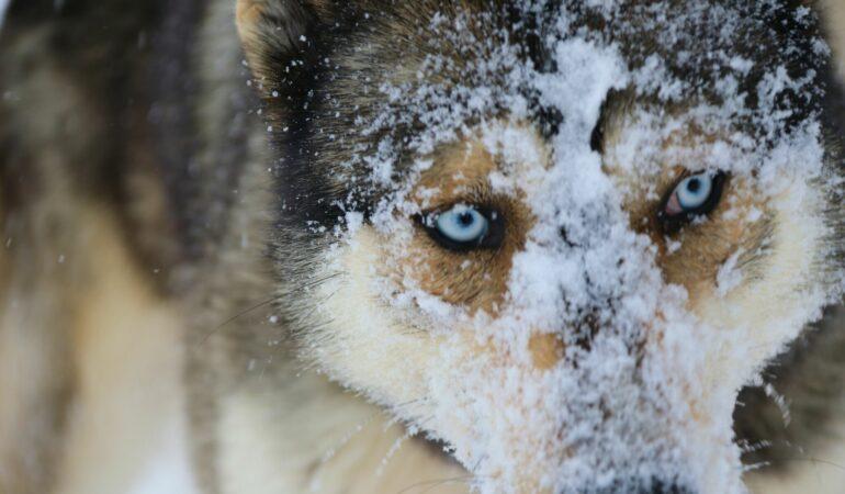 Att åka hundspann med 5 siberian huskies i Rovaniemi, finska Lappland