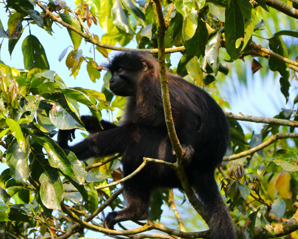 Ugandas apor - och Bigodi Wetland