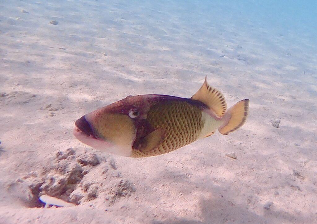 snorkling på Maldiverna