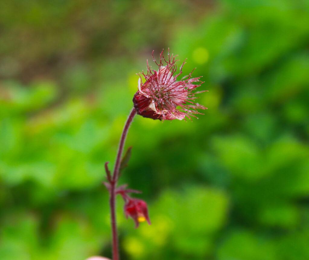 Blomsterfjället i Hemavan