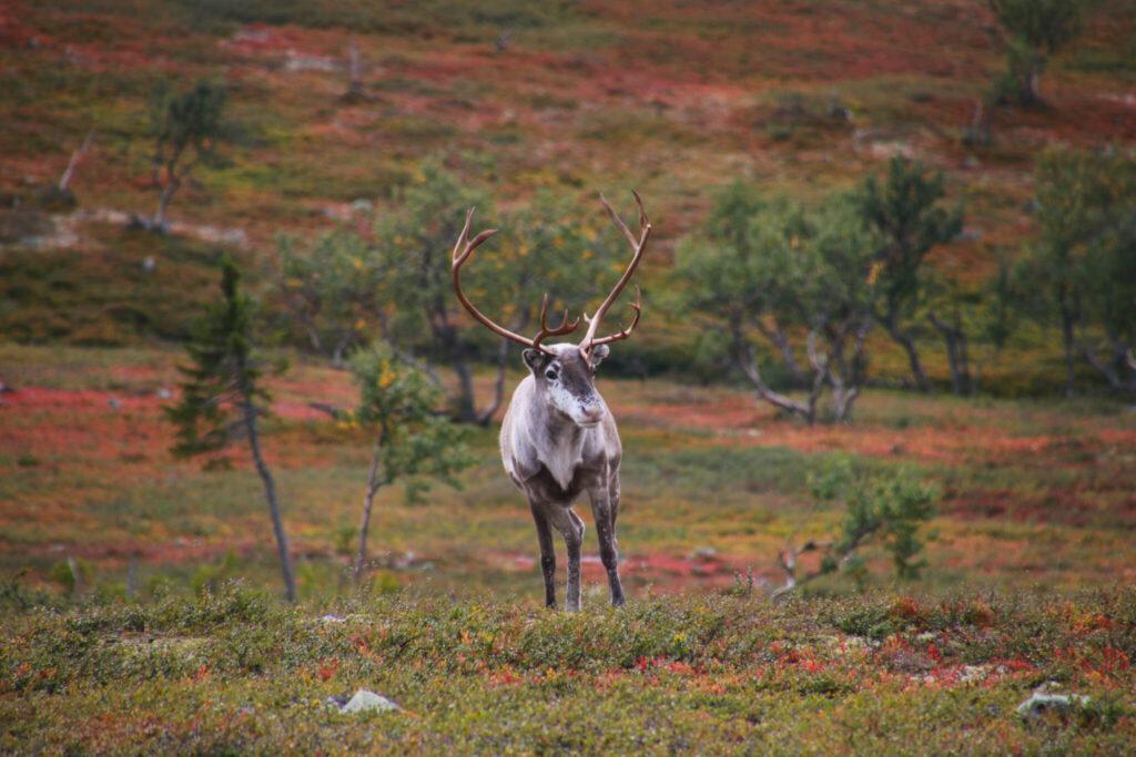 intressanta fakta om renen